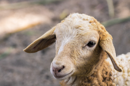 this is a close up of a daughter sheep