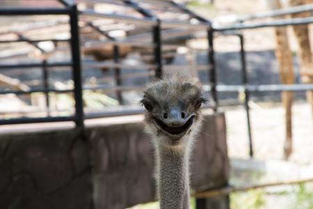 struthio camelus: The ostrich or common ostrich (Struthio camelus) is either one or two species of large flightless birds native to Africa