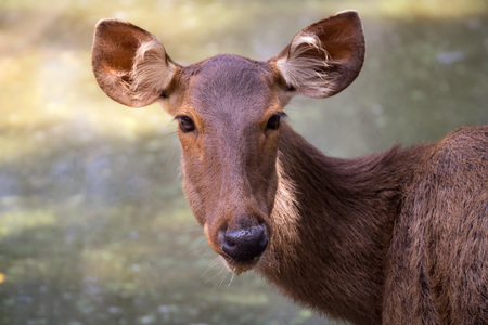 Portrait of deer from Thailand Asia