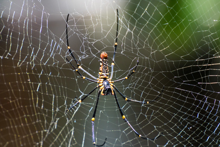 weavers: Golden Spider on it web in the wild. Stock Photo