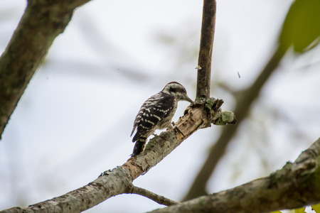 Pygmy woodpecker find the insect