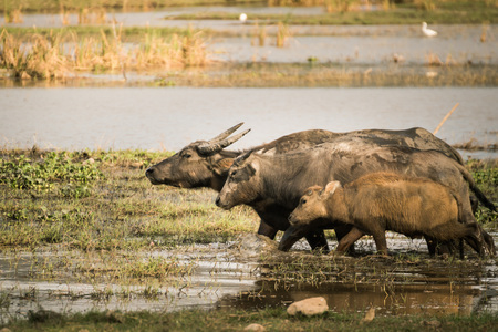 Thai buffalo grazing in marshy swamp area