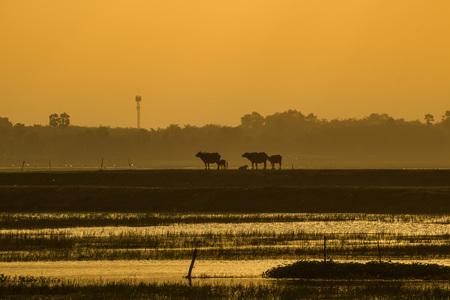 Herd buffalo against sunrise or sunset at Thailand Stock Photo