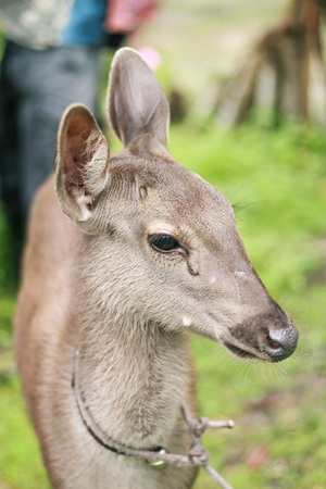 Portrait of deer in the zoo at Thailand country