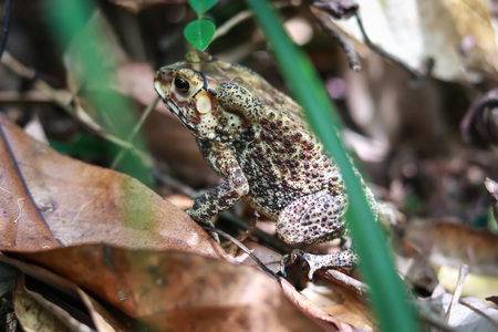 Asian common toad, Black-spined toad in Thailand Stock Photo