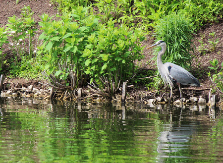Blue Heron by pond in garden 写真素材