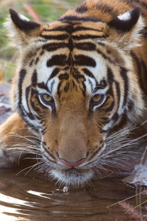 Bengal Tiger drinking water photo