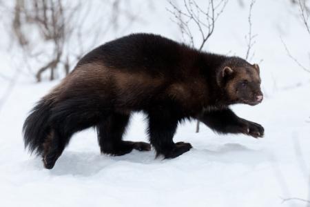 Wolverine im Schnee Standard-Bild - 14432085