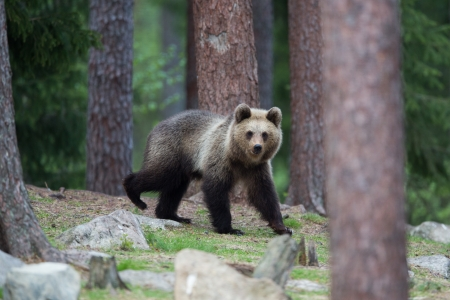 Brown bear in Tiaga forest Stock Photo - 14557820