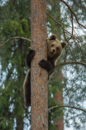 Brown bear climbing tree in Tiaga forest photo