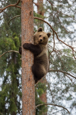 brown bear: Brown bear climbing tree in Tiaga forest