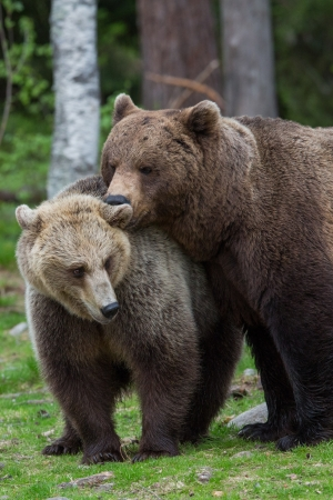 Brown bear love in Tiaga forest Stock Photo