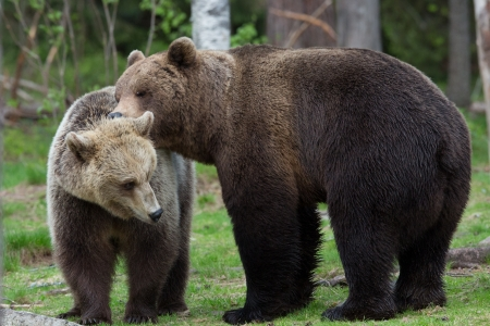 brown bear: Brown bear love in Tiaga forest Stock Photo
