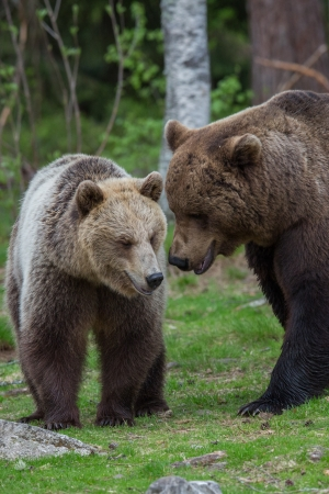 Brown bears in Tiaga forest photo