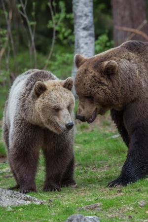 tiaga: Brown bears in Tiaga forest