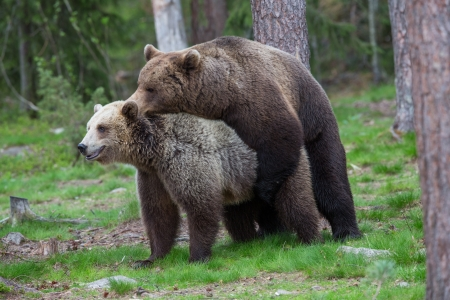 Brown bears mating in Tiaga forest Stock Photo - 14557841
