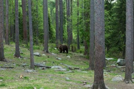 tiaga: Brown bear in Tiaga forest
