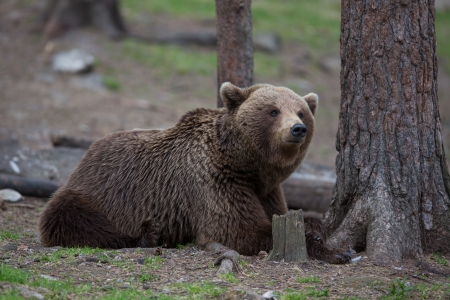 Brown bear in Tiaga forest Stock Photo - 14557819