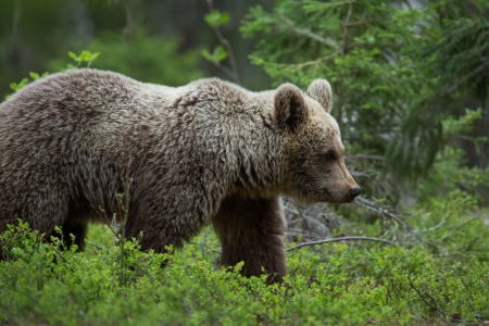 Brown bear in Tiaga forest Stock Photo - 14557835