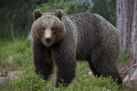 Bruine beer in het bos Tiaga Stockfoto