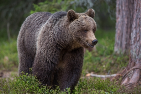 Brown bear in Tiaga forest photo