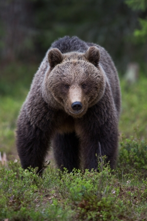 Brown bear in Tiaga forest Stock Photo - 14557807