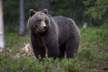 Braunbär in Tiaga Wald Standard-Bild - 14557818