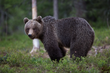 Brown bear in Tiaga forest Stock Photo - 14557833