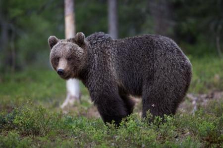 bear: Oso pardo en el bosque de Tiaga