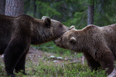 Brown bears showing affection in Tiaga forest