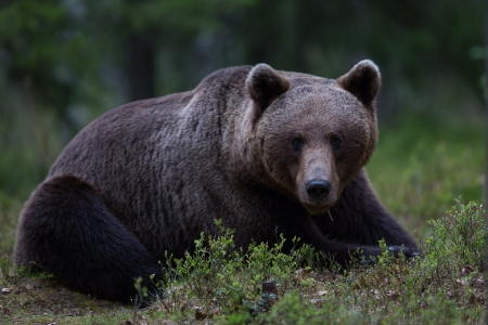 brown bear: Brown bear in Tiaga forest
