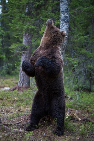 Brown bear scratching on a tree in Tiaga forest photo