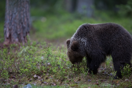 Baby cub Brown bear in Tiaga forest photo