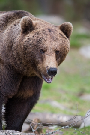 Brown bear in Tiaga forest Stock Photo - 14557824