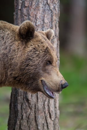 Brown bear in Tiaga forest Stock Photo - 14557815