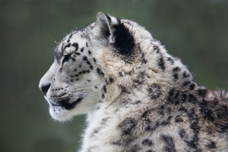 snow leopard: Snow leopard Stock Photo