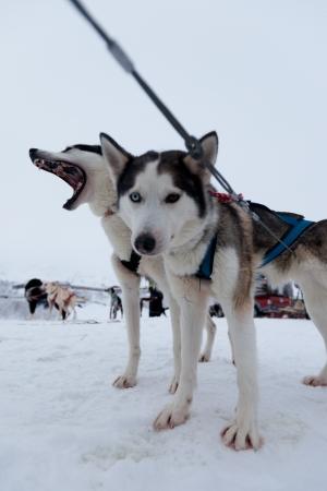 esquimales: Perros Husky
