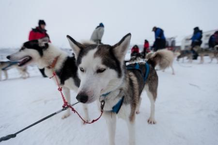 Husky dogsleds