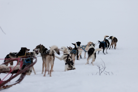 sled dog: Husky dogsleds racing Stock Photo