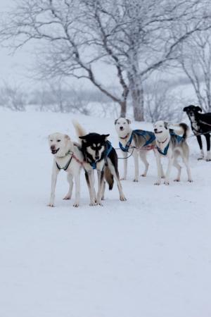 sled dog: Husky dogsleds