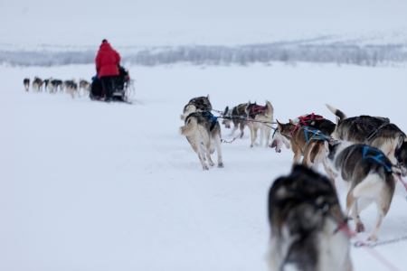 mushing: Husky dogsleds racing Stock Photo