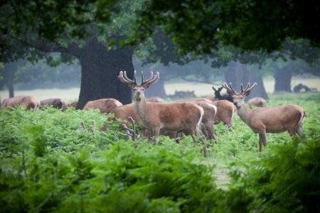 herd deer: Deer herd in a forest
