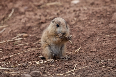 Baby Marmot  Prairie dog, gopher  eating straw photo