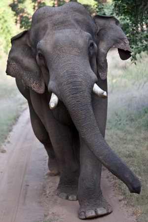 Asian elephant walking photo