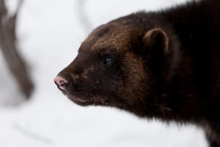 wolverine: Wolverine in the snow