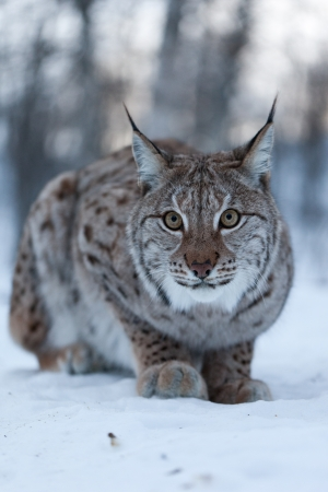 minx: A lynx in the snow