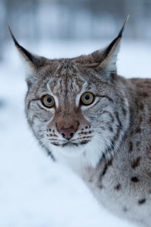 minx: A lynx in the snow
