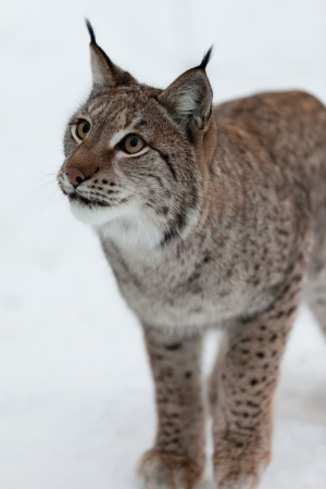 A lynx in the snow Stock Photo - 14598325