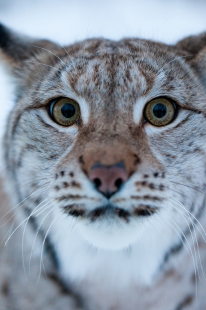 minx: Close up portrait of a Lynx