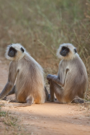 gray langur: Common langur monkeys in India